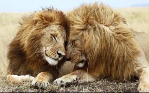 lions_pair.jpg
