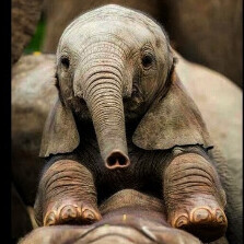 elephant81